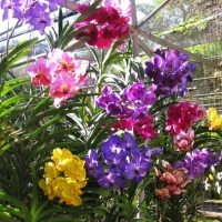 Stunning color of varieties orchids. Please contact www.chiangmaitourcenter.com